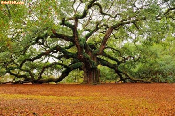 1500 year old Angel Oak in Charleston, South Carolina