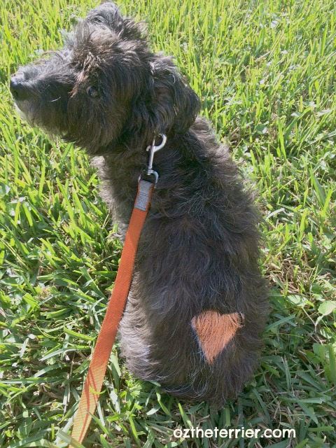 Oz the Terrier with orange heart painted on with dog-safe PetPaint