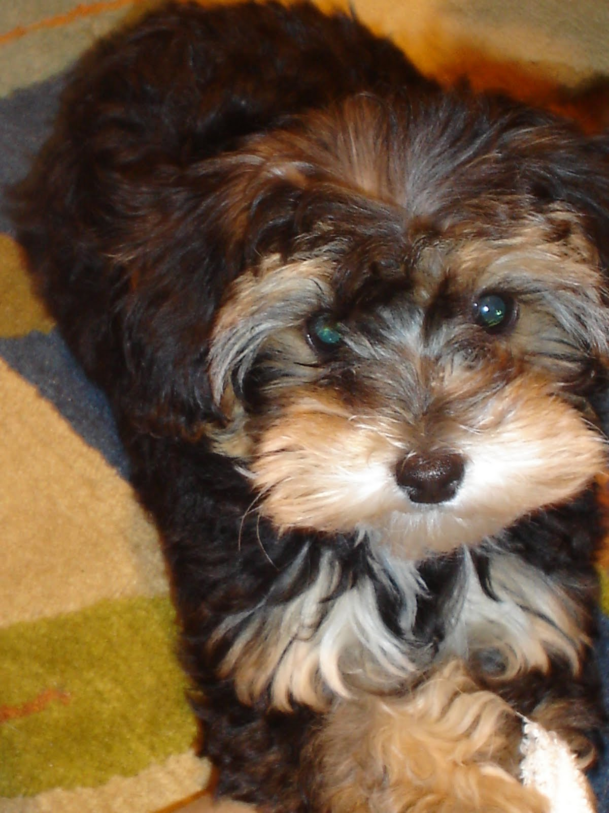 Cute Yorkie Poo Haircuts Images & Pictures - Becuo