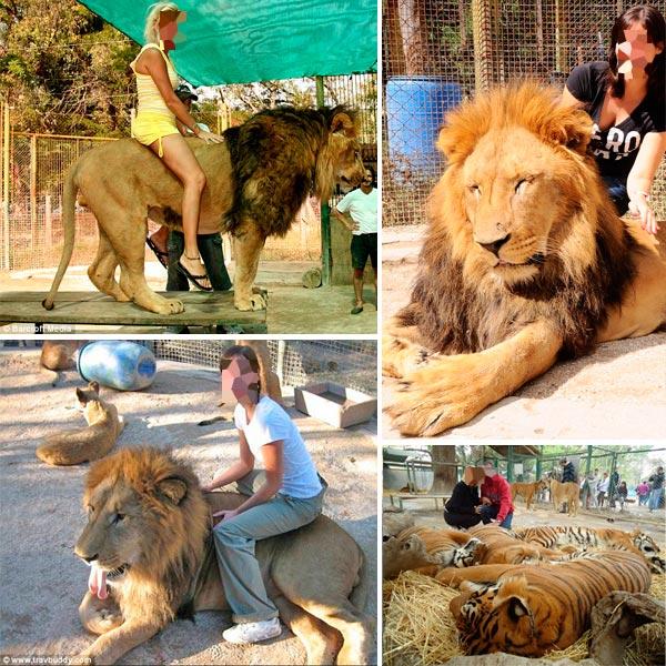 Sabemos que animais selvagens não permitem este tipo de abordagem, são sempre arredios, desconfiados e jamais deixariam um humano deitar sobre ele ou arreganhar suas bocas, como aparece em algumas fotos. Fotos: Reprodução/internet