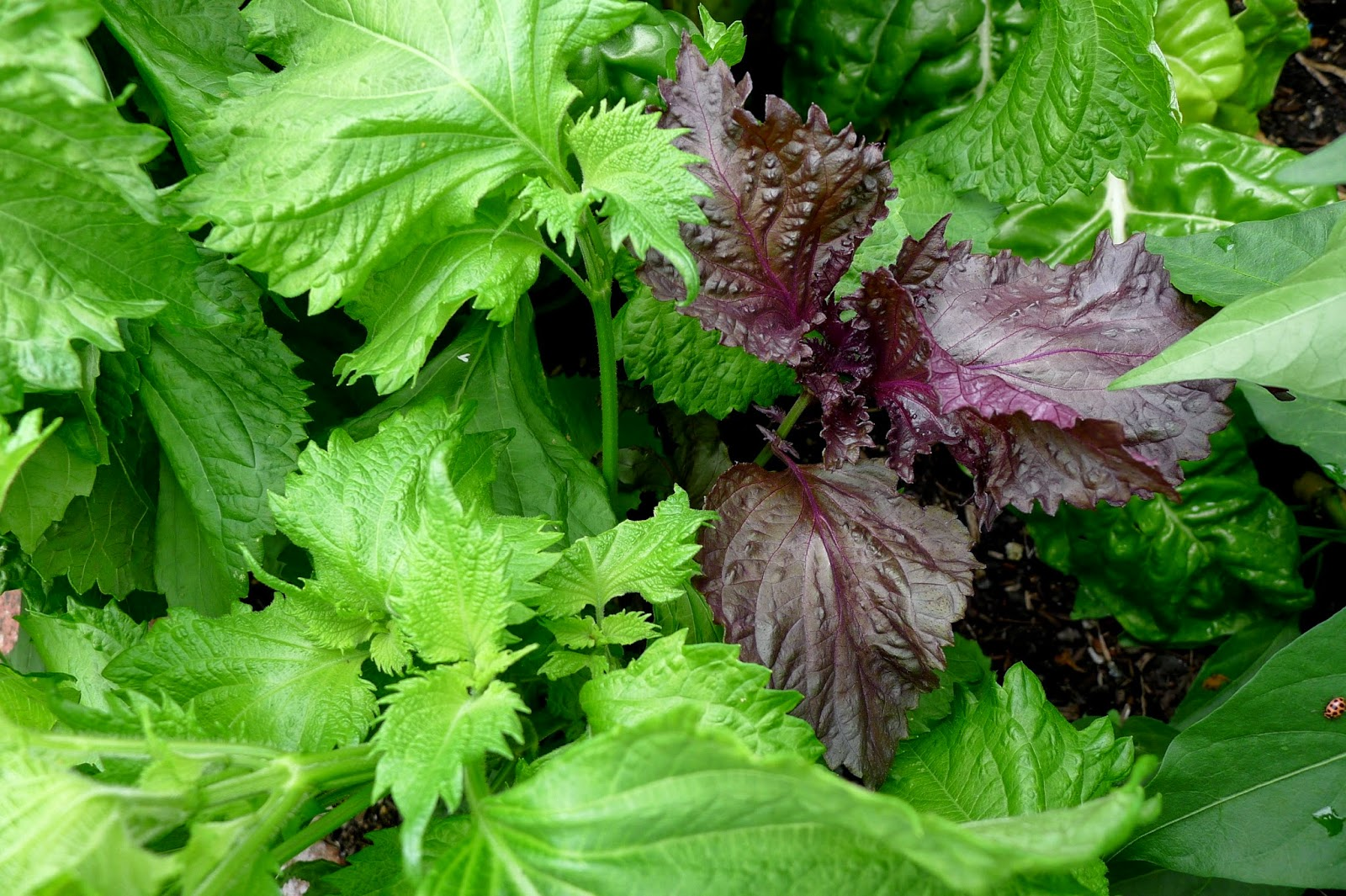 Less Noise,More Green Edible Landscape Project: Shiso, Perilla frutescens, annual,herb
