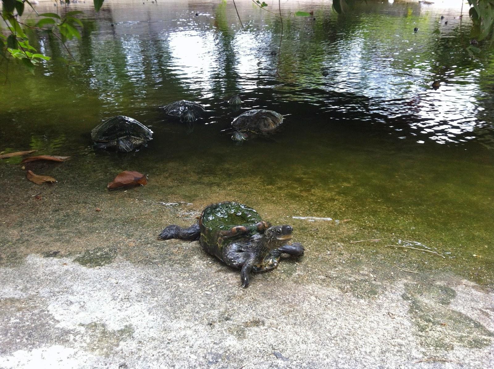 Kusu island tortoise shelter