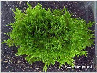 gambar-peacok-moss-Taxiphyllum-Sp-Var-Peacock-tanaman-moss-aquascape