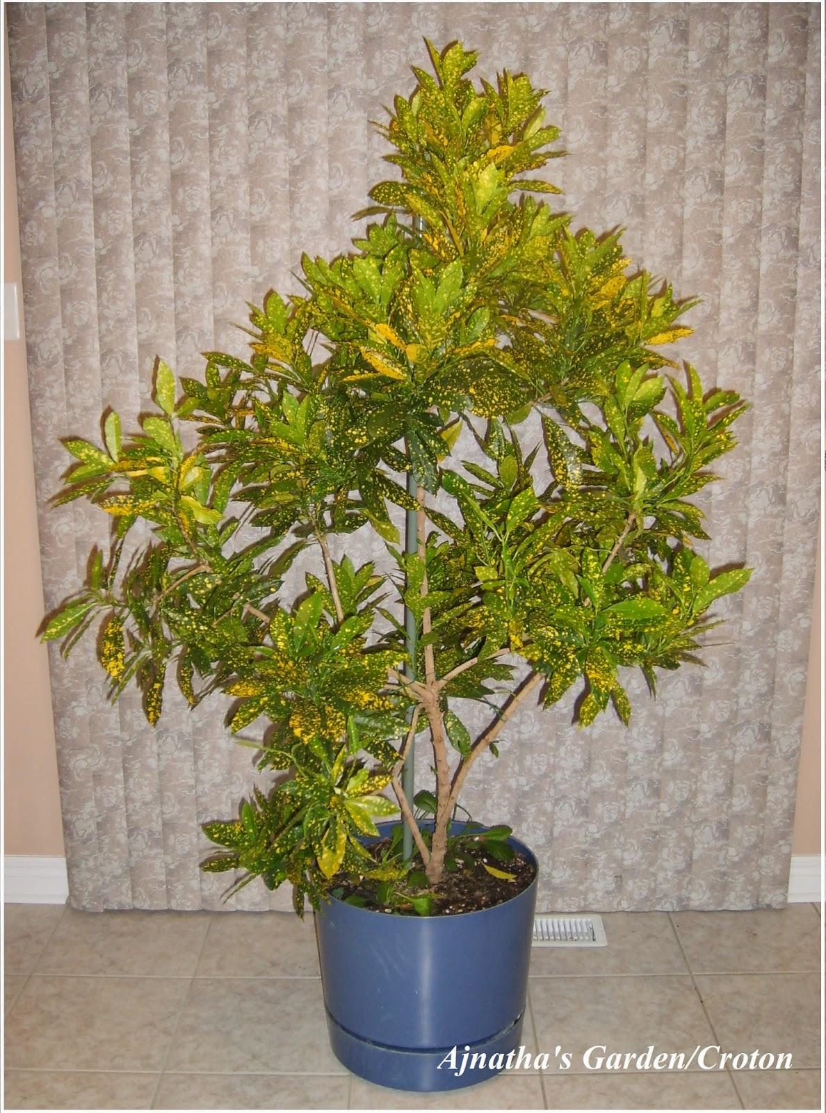 Ajantha's Garden/Gold Dust-Croton