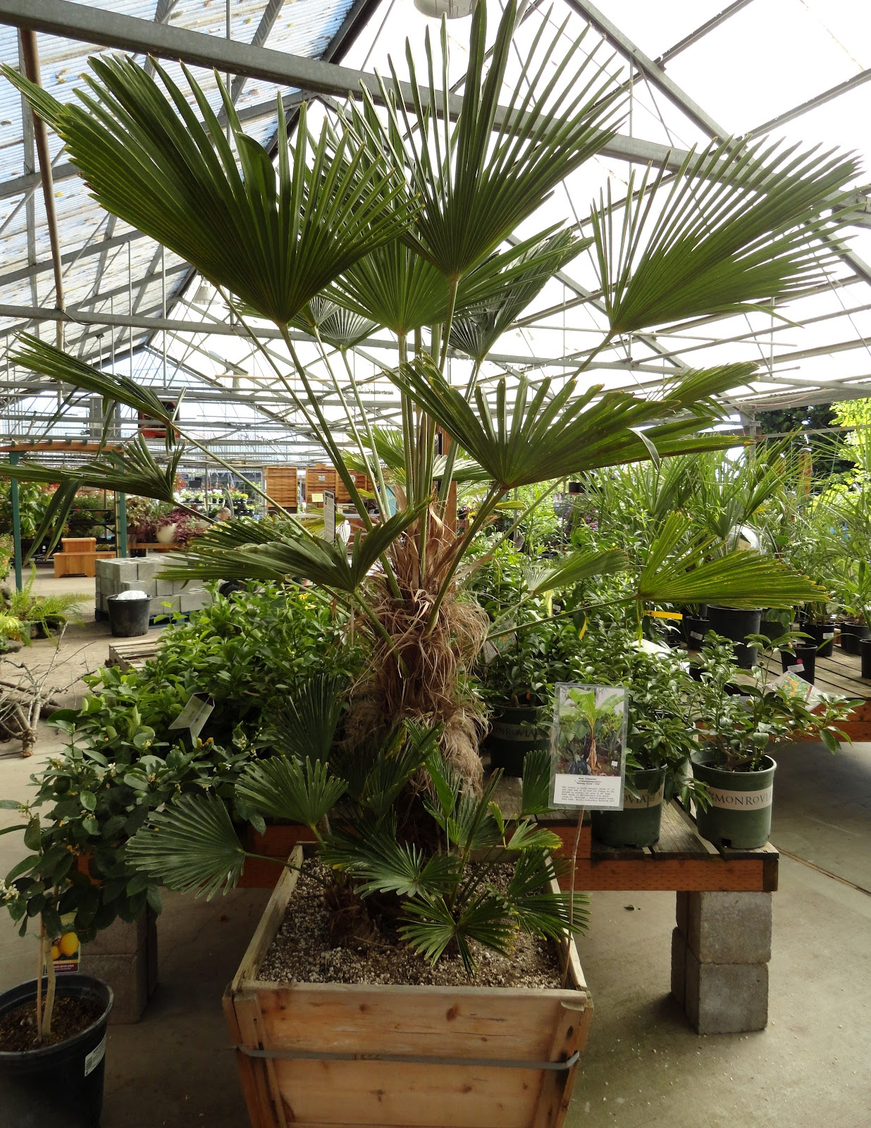 danger garden: Is it too early to buy my Christmas Tree Palm?