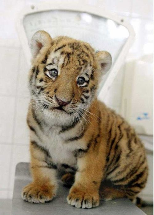 Cute tiger pictures - photo#26