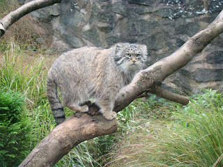 Pallas Cat Wallpaper