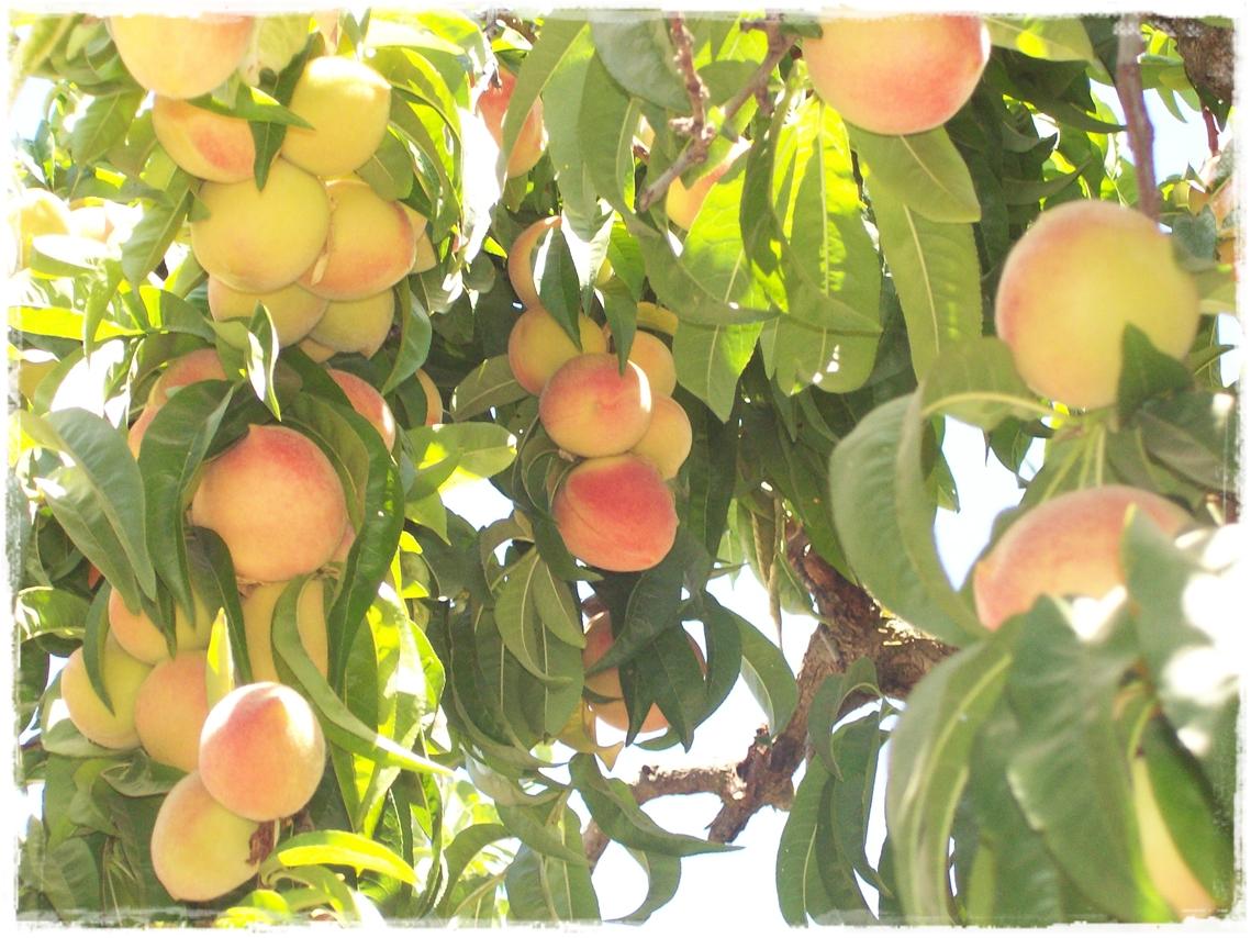 Titere con bonete it 39 s all peachy for The peach tree
