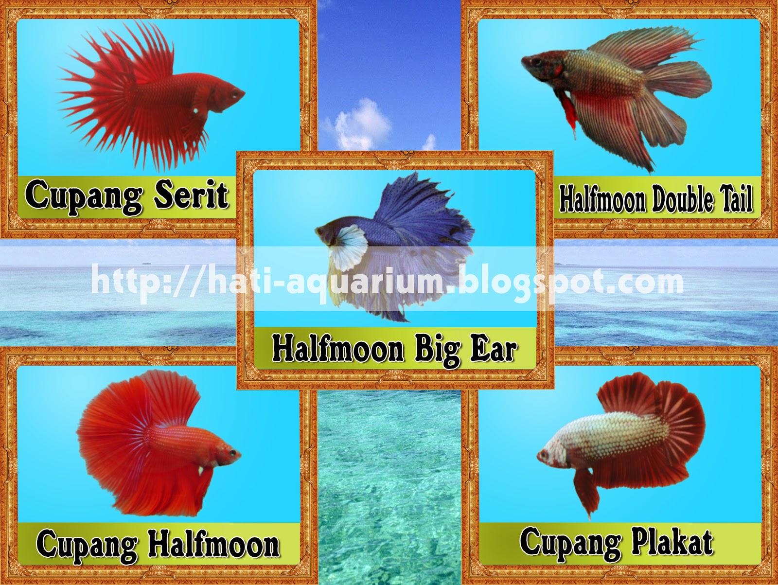 Jenis Ikan Cupang yang terkenal