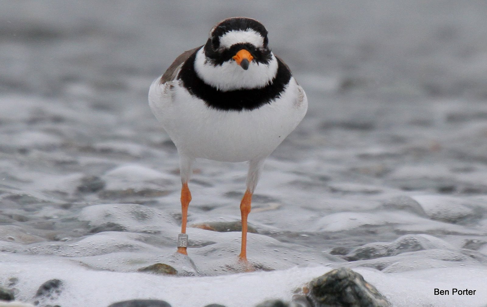 plover singles Questions and answers about the piping plover and the proposed designation of critical habitat :  there are two single dark bands, one.