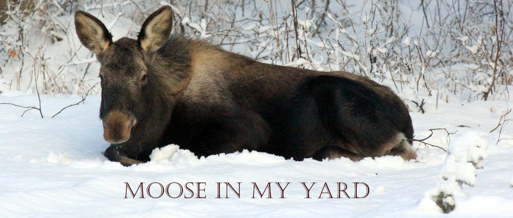 Moose In My Yard