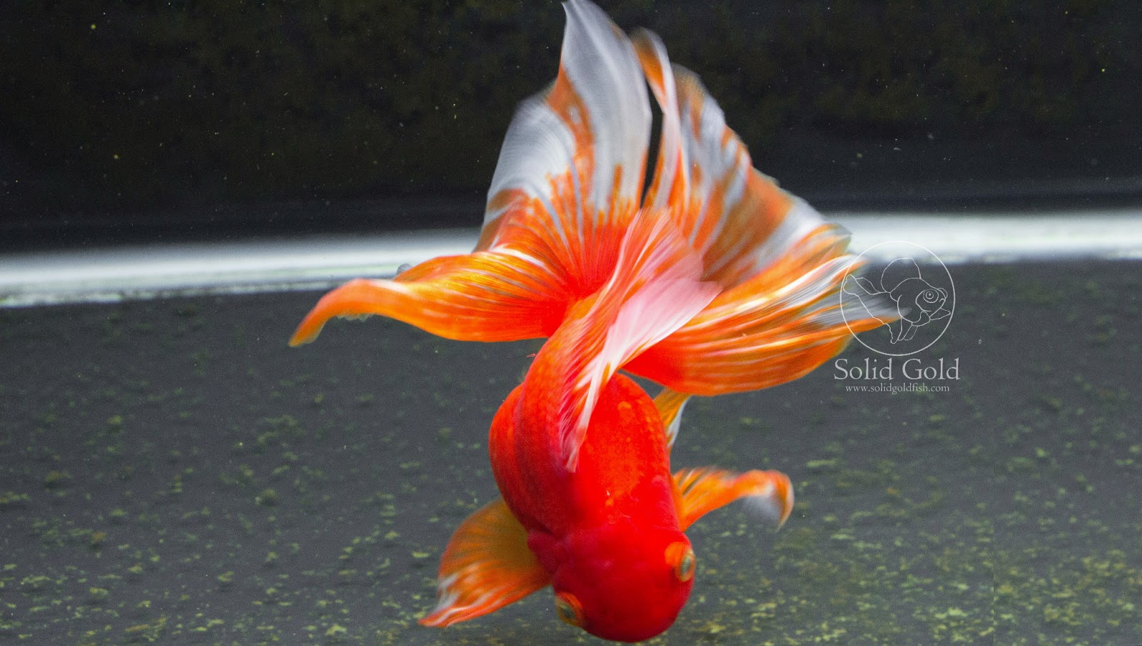 Callisto the unclassifiable goldfish solid gold aquatics for Aquarium 30l combien de poisson rouge
