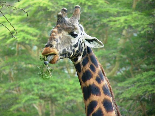 Buy stretched canvas print of Masai Giraffe