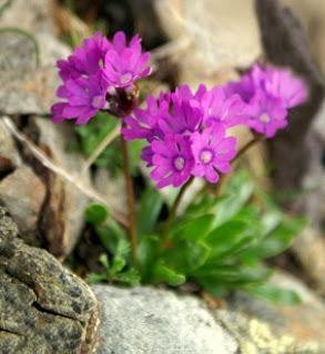 Speik flower Austria