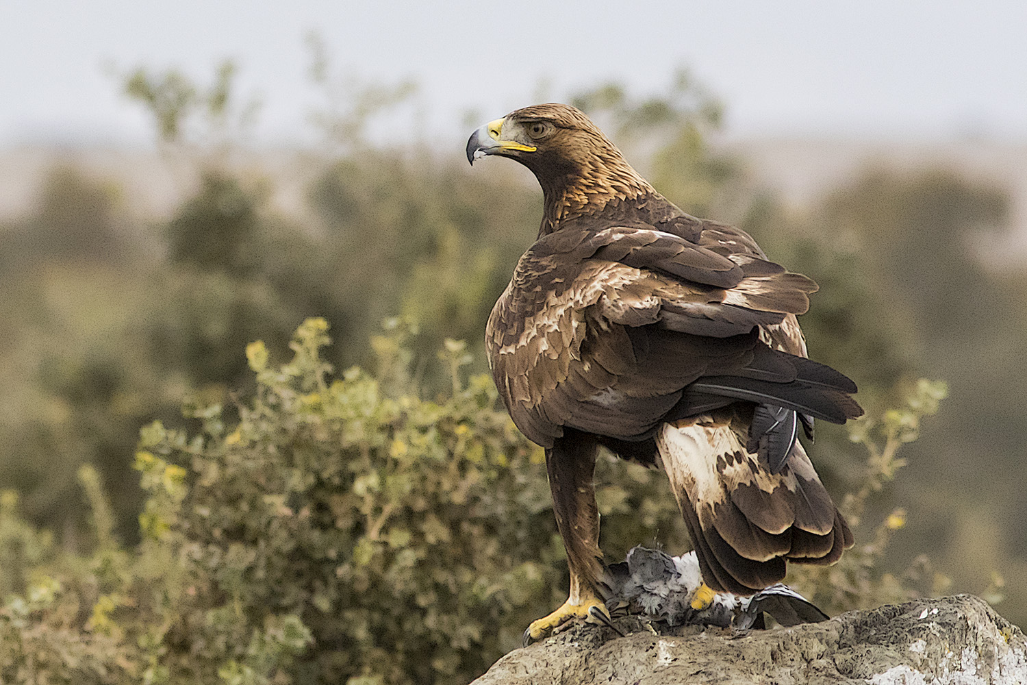 Hide Golden Eagle (Águila Real)