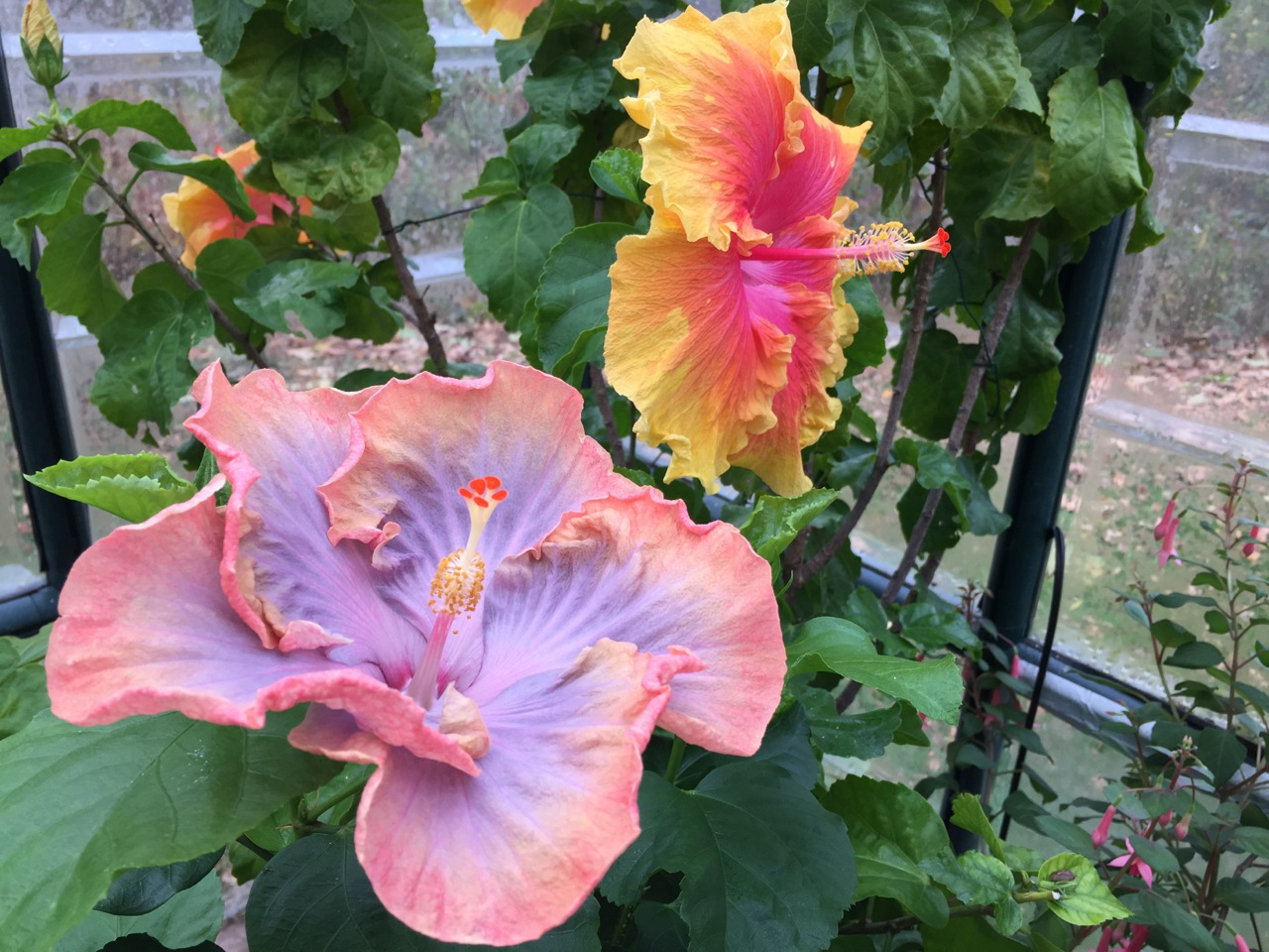 Julie Zickefoose On Blogspot One Heck Of A Hibiscus