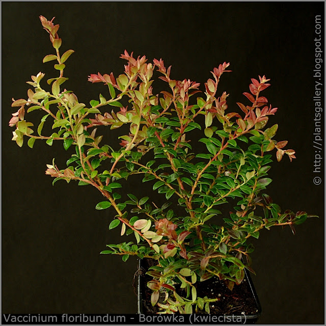 Vaccinium floribundum habit - Borówka (kwiecista) pokrój