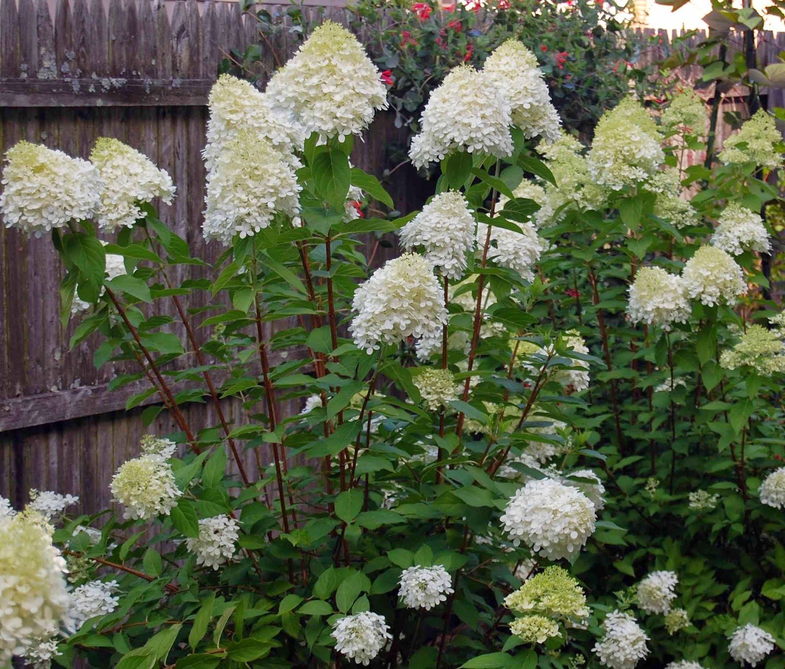 New London Beautification Committee Will Hydrangeas Bloom This Summer