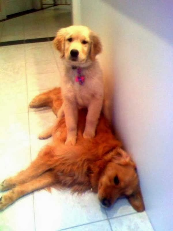 Cute dogs - part 4 (50 pics), dog pictures, puppy sits on other dog
