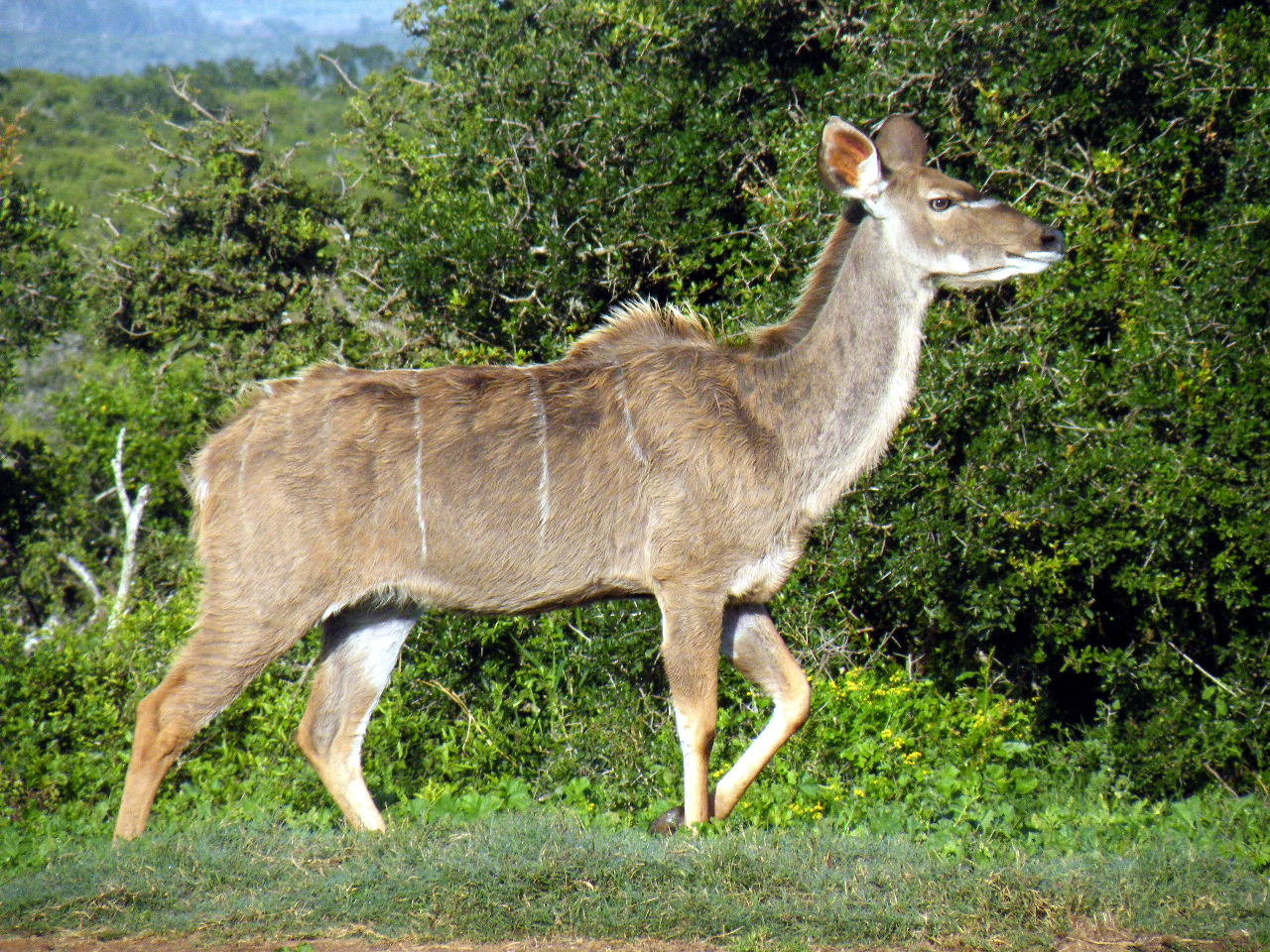 Kudu+Animal%2C+Kudu+%2818%29.JPG