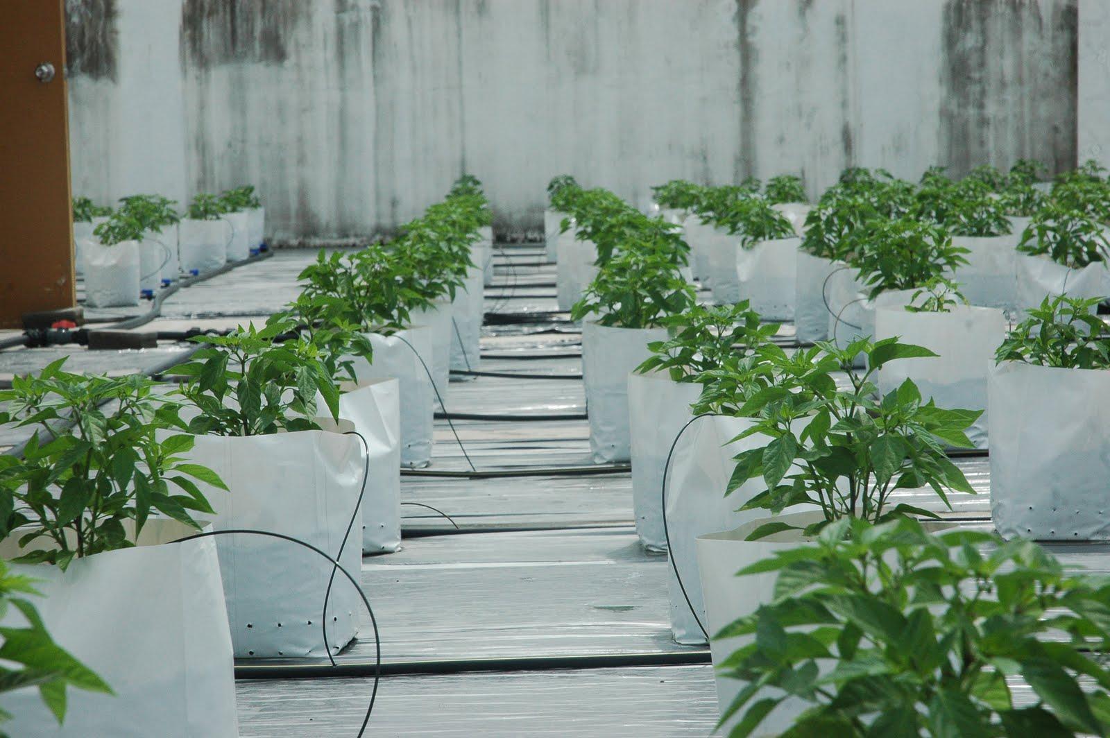 My little vegetable garden: rooftop vegetable gardening: chili flowering