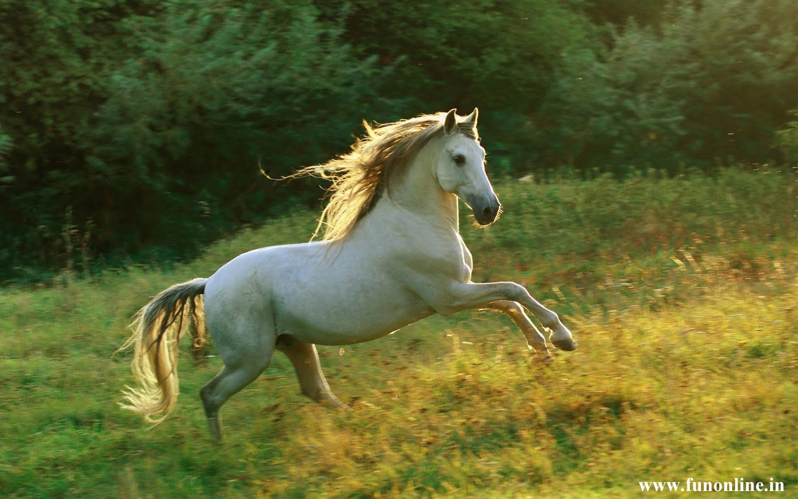 white wild horses awsome hd wallpapers | beautiful wild & pets animals