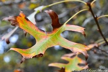 Folhas de carvalho...
