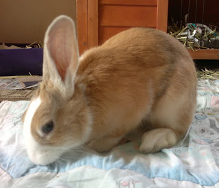 Close up of Tri-colour Dutch rabbit in white, orange and black.