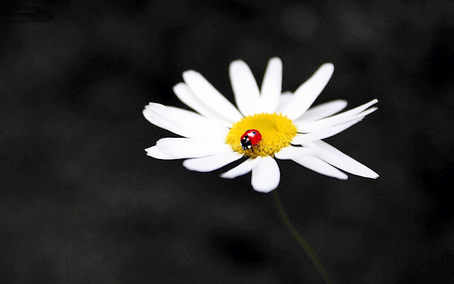 Wallpaper with a ladybug walking on a white flower on a dark black background