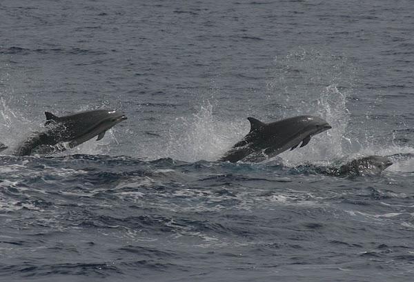 Fraser Dolphin