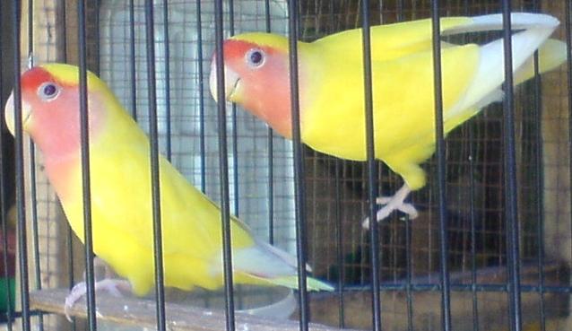 lovebird surabaya waffen ss aviary tentang bulu bab