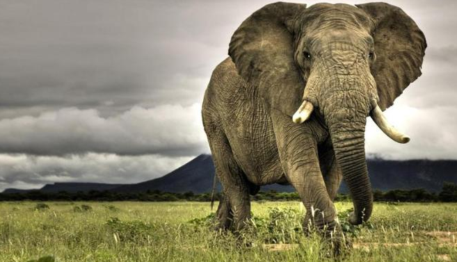 Contoh Descriptive Text About Elephant Gajah Terbaru 2015 Dan