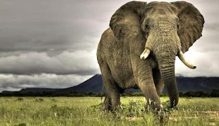 Contoh Descriptive Text About Elephant / Gajah Terbaru 2015 dan Artinya