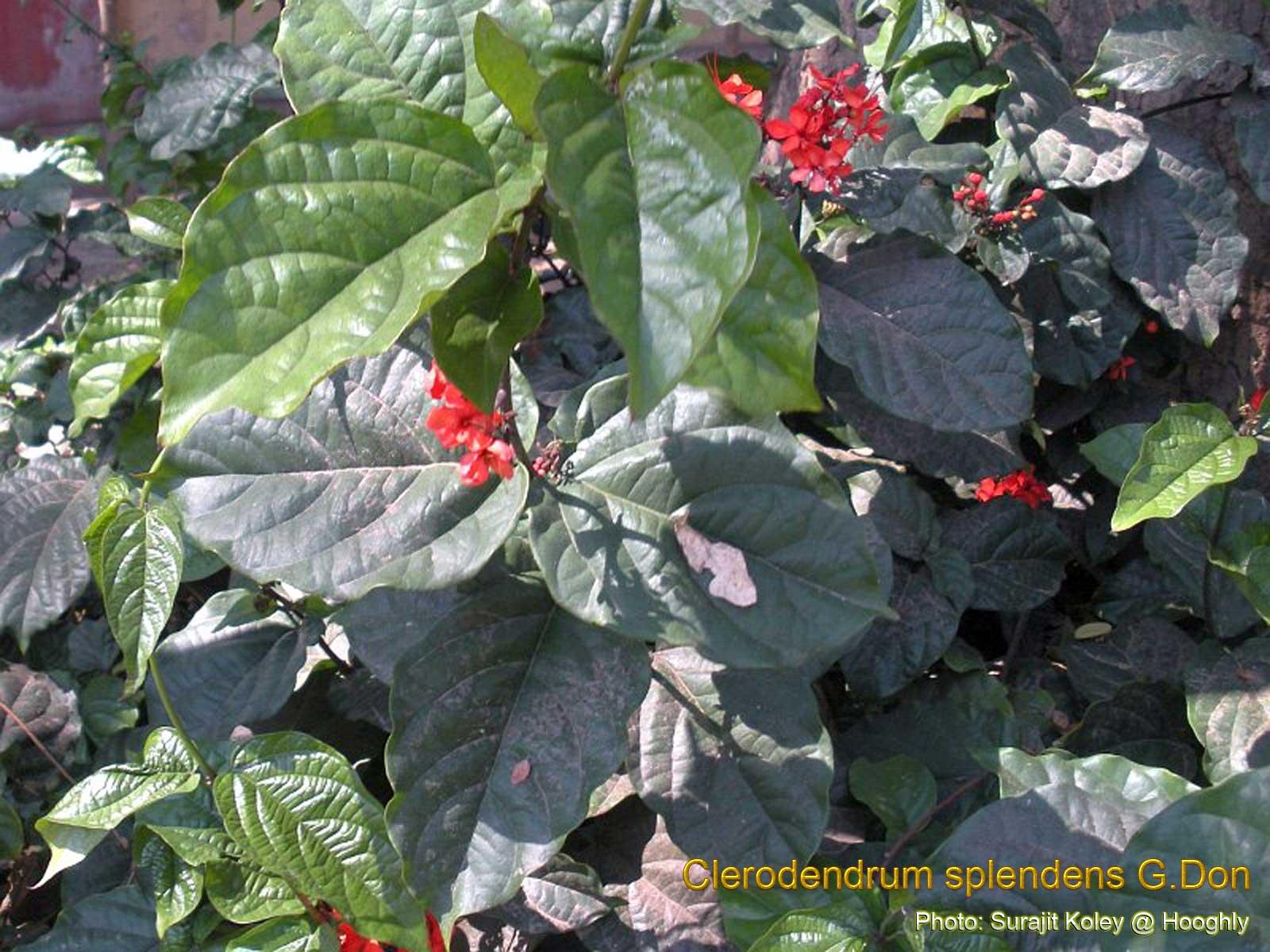 Clerodendrum Splendens Medicinal Plants: Cler...