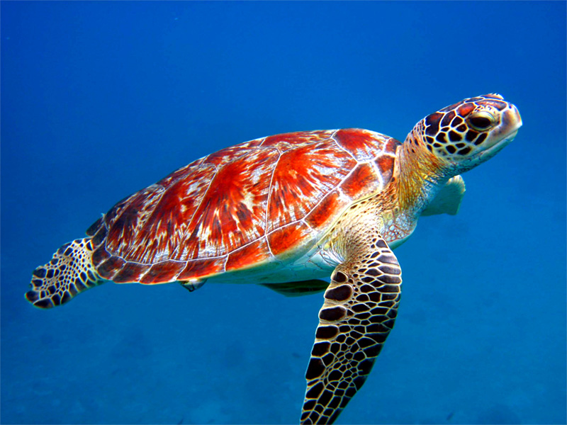 Sea turtle fish sea turtles are found in all major oceans and small