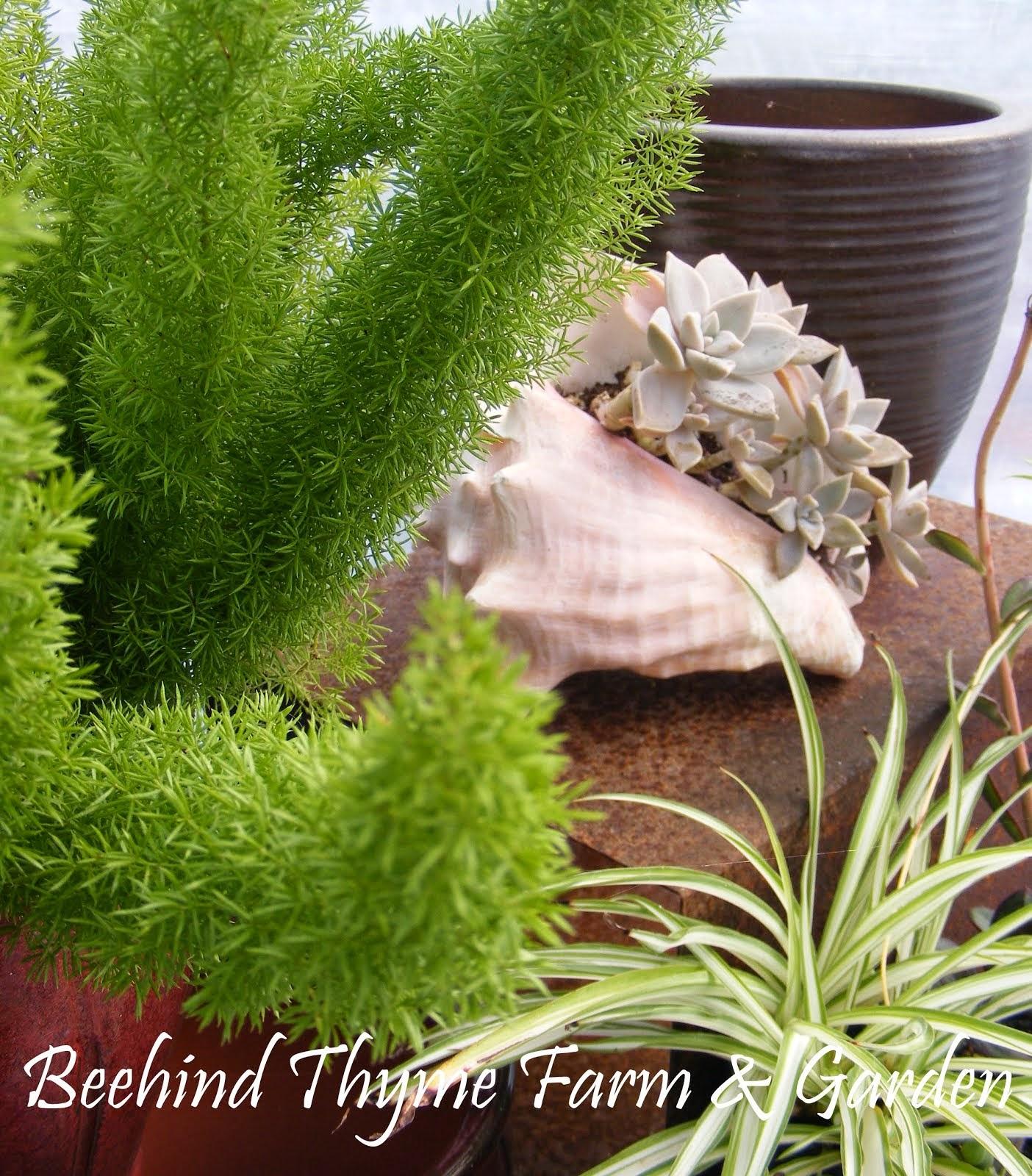 Gardener's FAVORITE... 'Foxtail Ferns'!