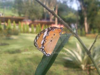 sikkim butterflies