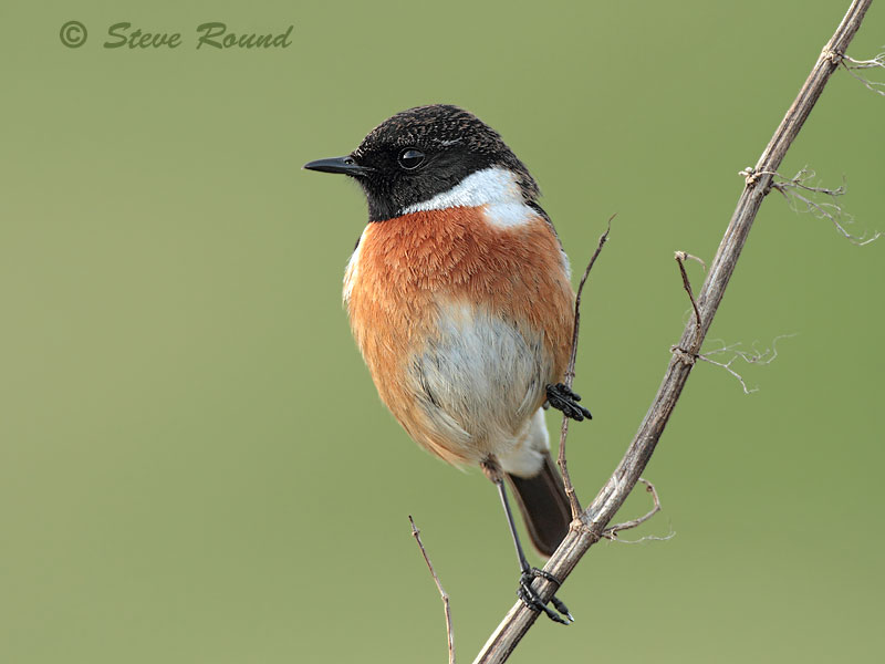 Stonechat, bird, nature, wildlife