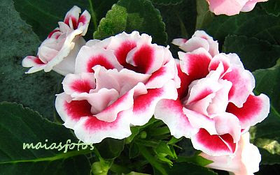 Red-white gloxinia picture-Sinningia speciosa