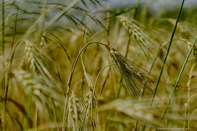 trawa, zboże, żniwa
