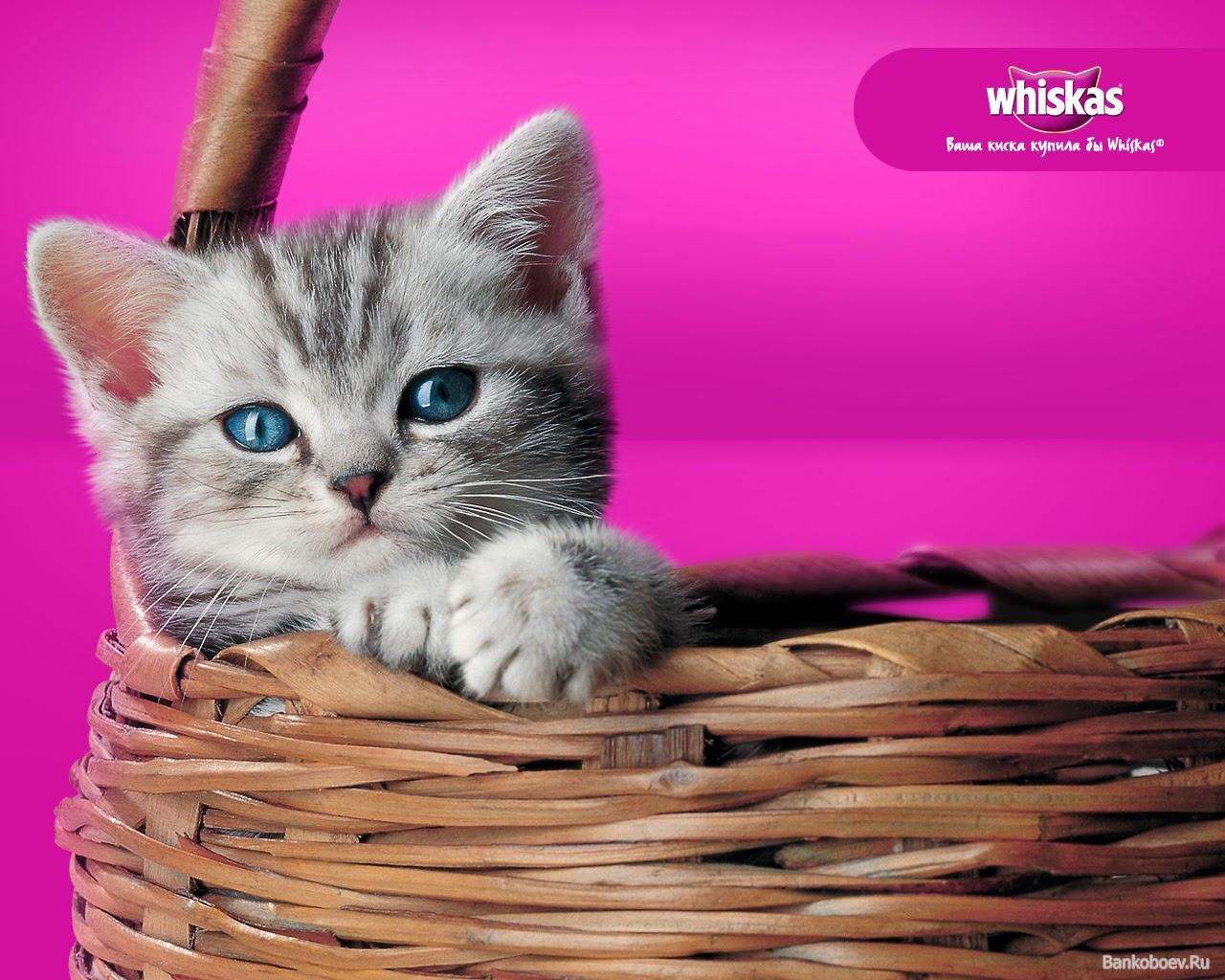 Namun pada postingan kali ini kita akan memfokuskan pada makanan kucing Whiskas Junior Kitten