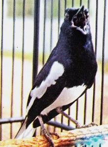 Suara Isian Untuk Burung Kacer