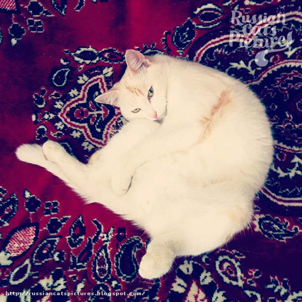 Domestic Instacats White Cat 06