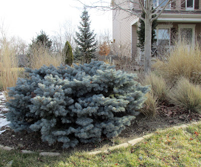 Dwarf globe Colorado blue spruce