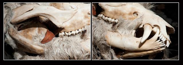 Skull; Bones; Fangs; Opossum