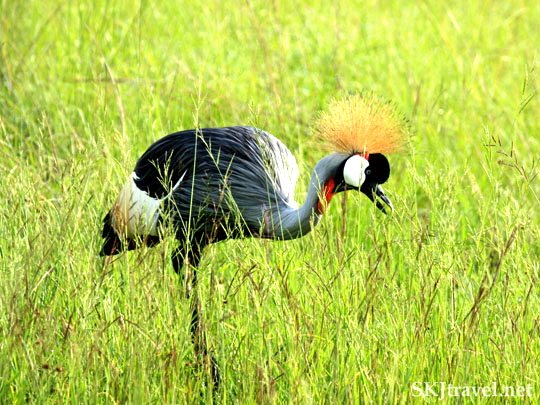 Gray Crowned Crane Uganda