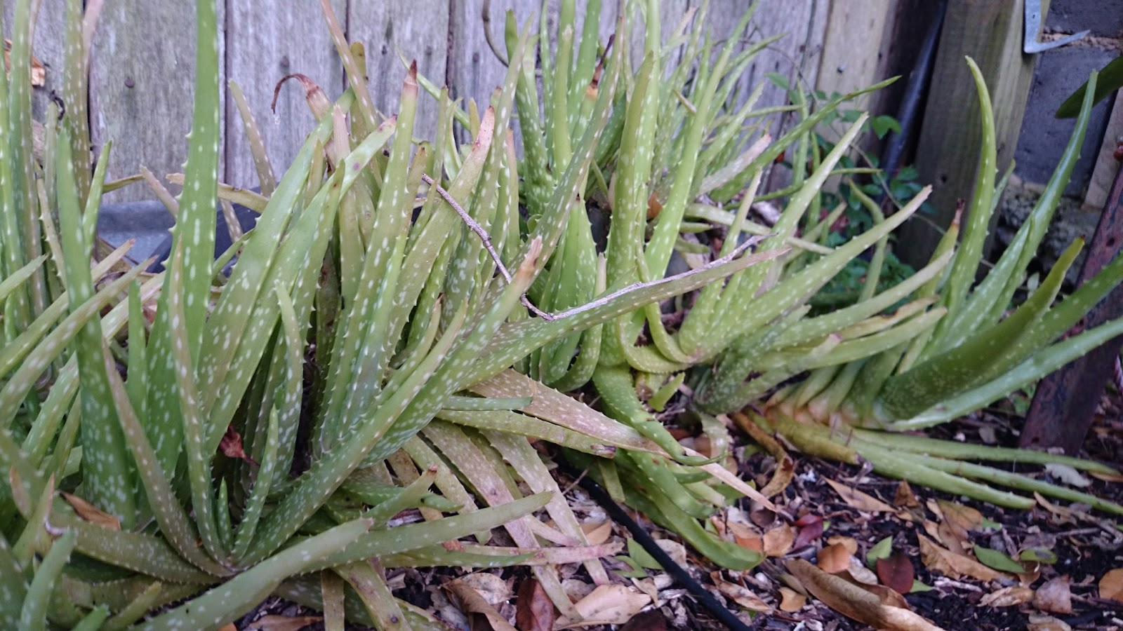 Real world gardener aloe aloe i see dutchmans 39 britches for Aloe barbadensis