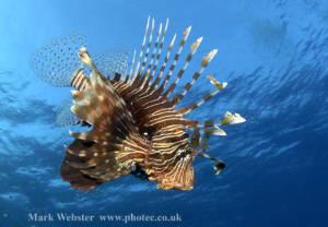 8 Hewan Laut Paling Mematikan di Dunia: Lionfish