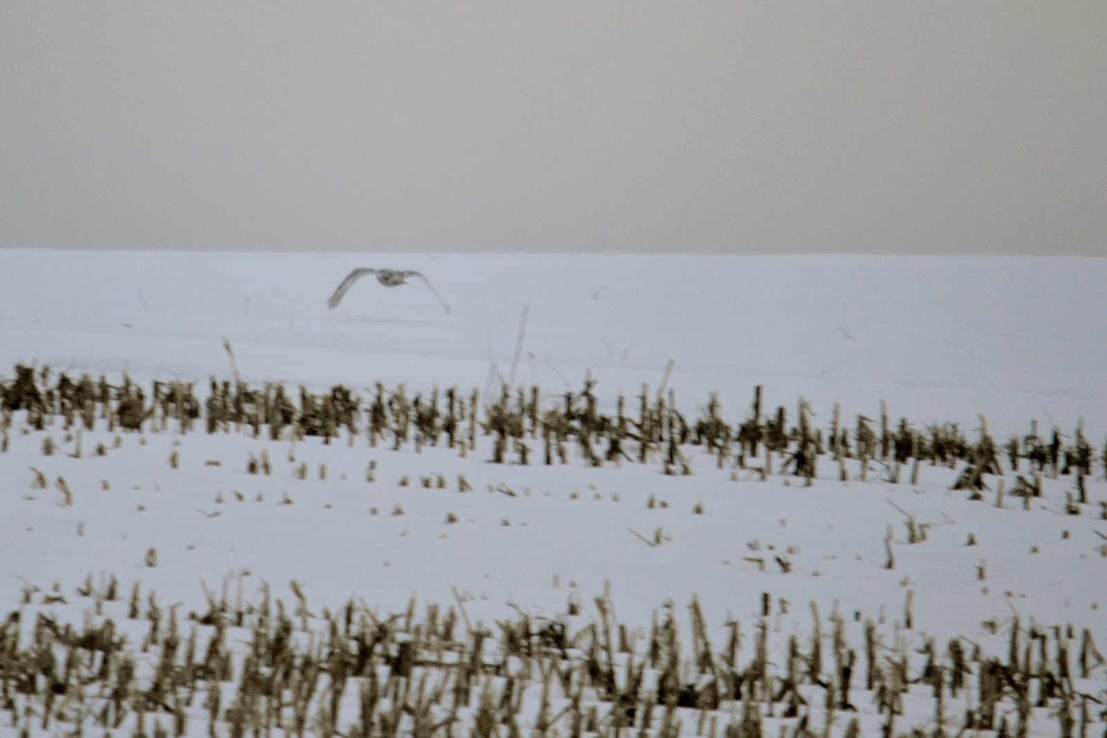 snowy owl flying low across a snow-covered field