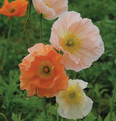 Growing with plants an introduction to poppies papaver nudicaule iceland poppies mightylinksfo